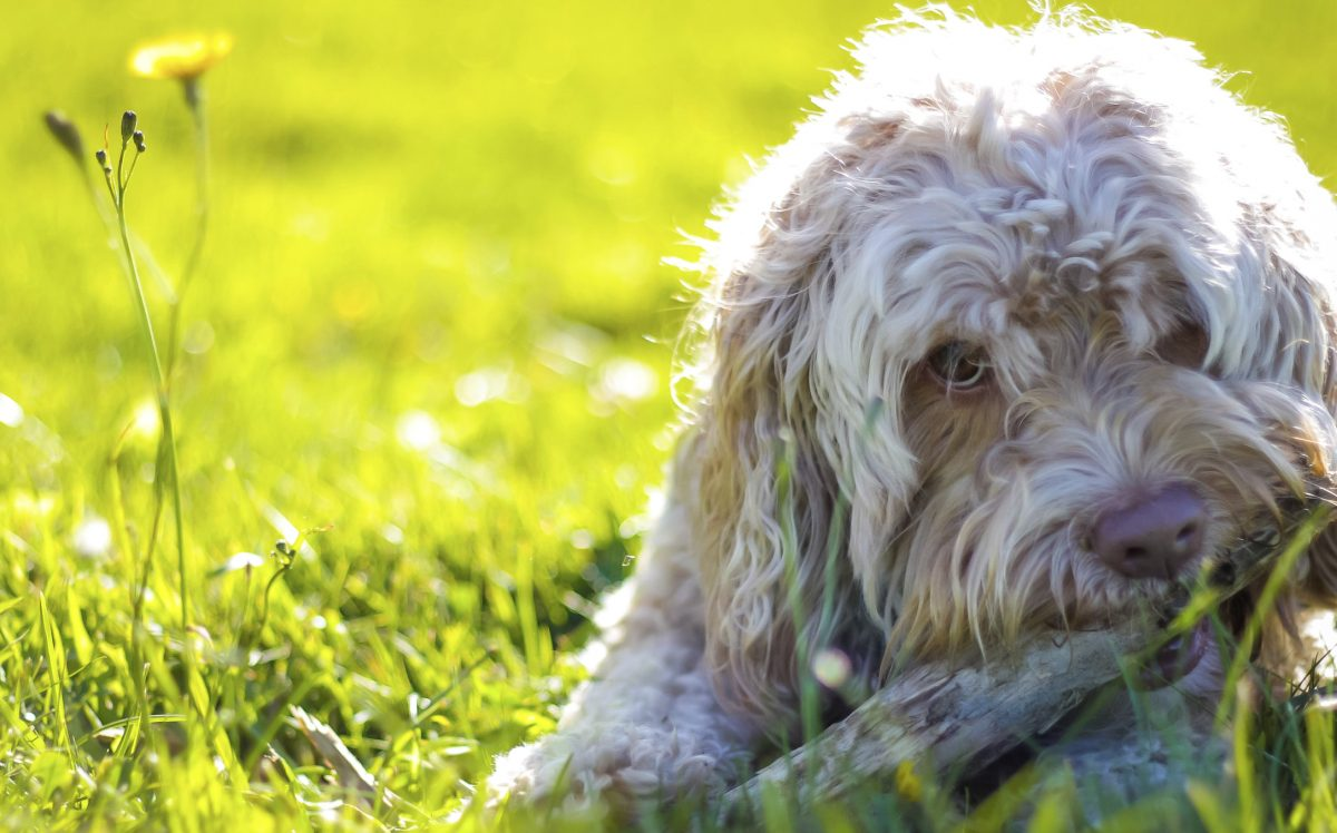 cropped-iStock-Dog-in-Grass.jpg